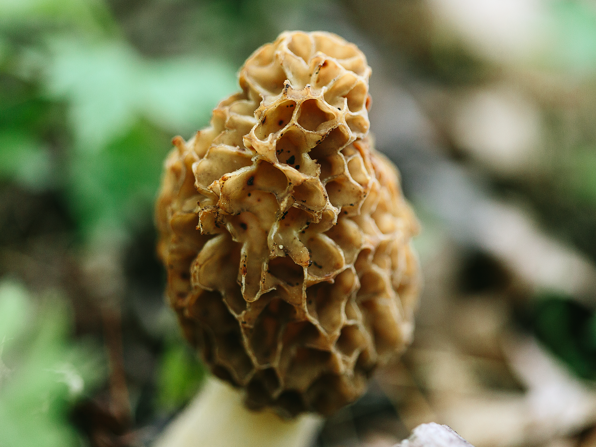 We Met Some Fungi in the Morel Capital of America: Wisconsin