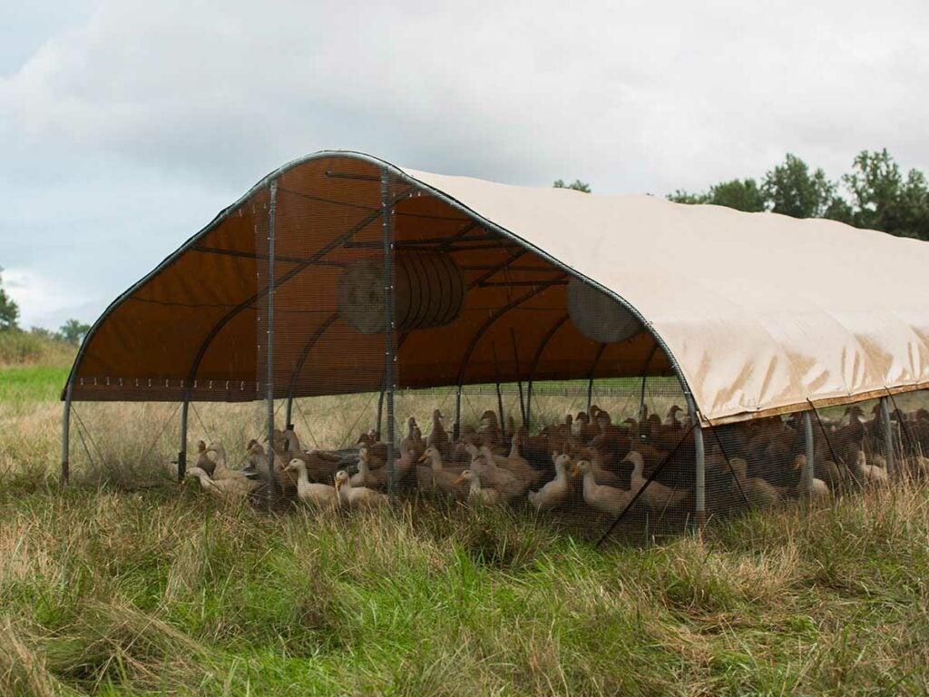 Pasture-raised ducks at Stone Barns