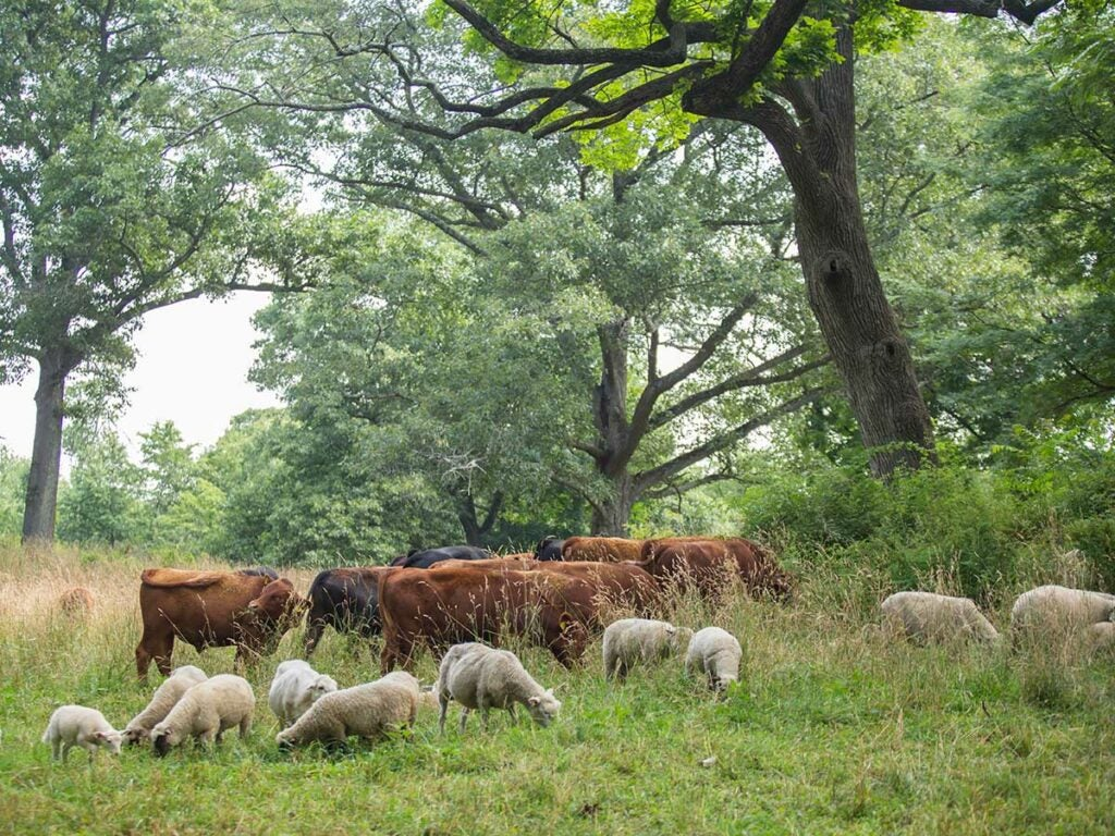 Sheep and cattle graze