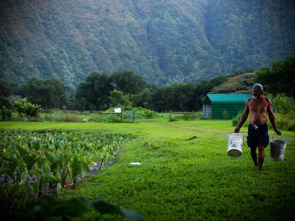 Jayson Mock Chew harvesting taro from his lo'i ponds