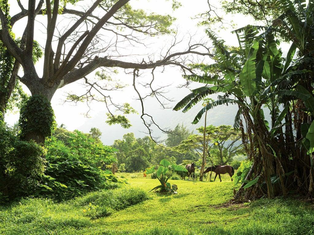Hawaii wild horses