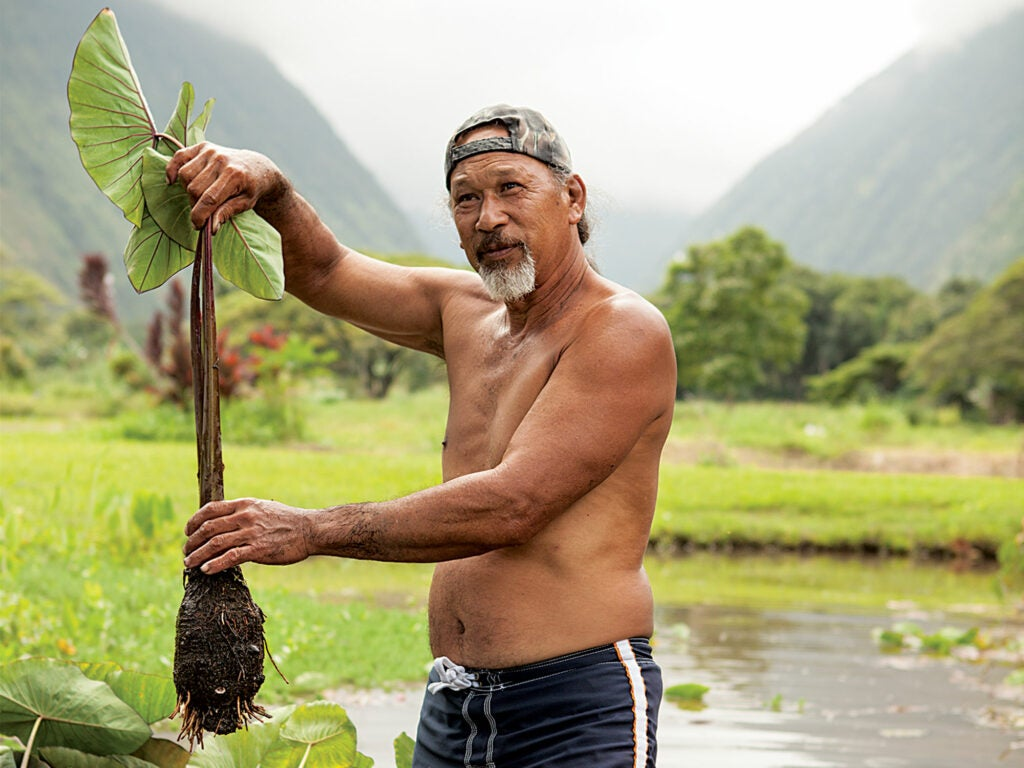 Jason Mock Chew, the host of the gathering, harvests taro plants in the family's pond