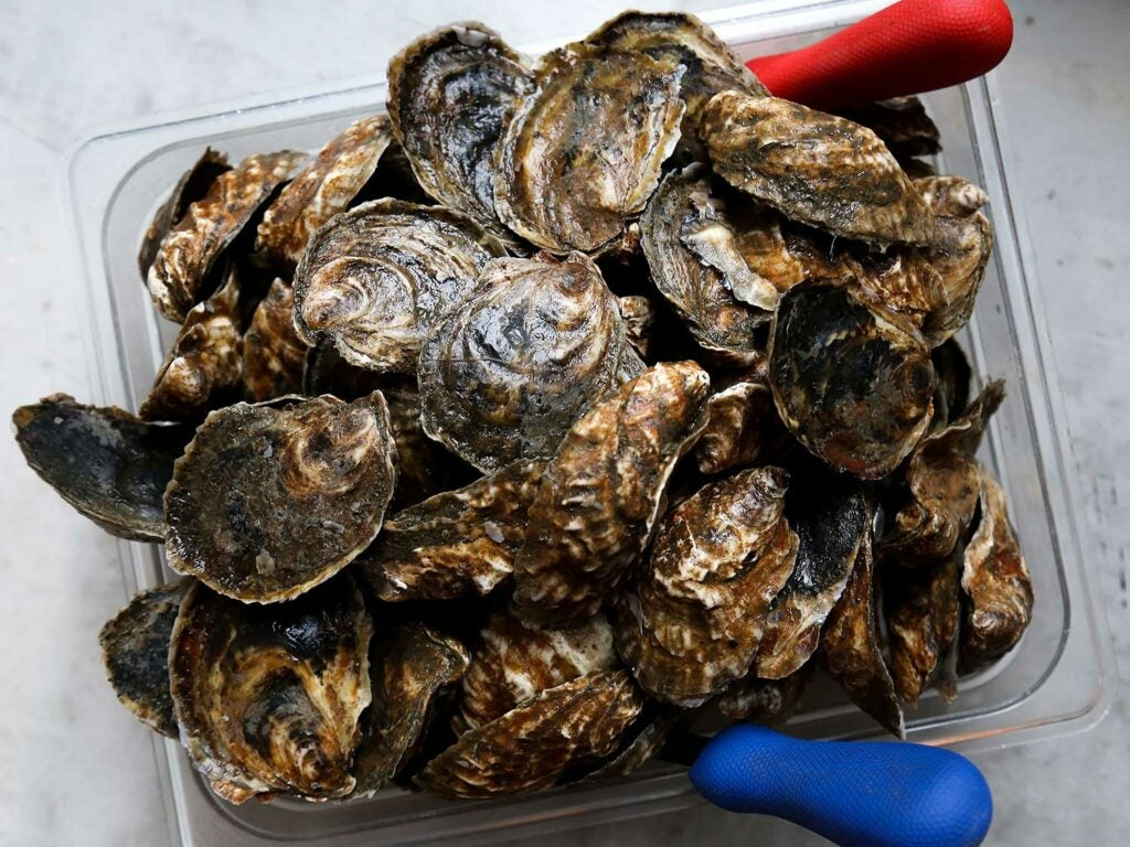Oysters galore, courtesy of Peeko Oysters