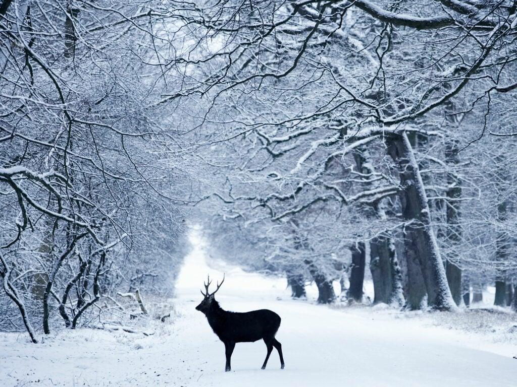 Reindeer Denmark
