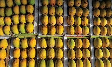 Mango: King of Fruits