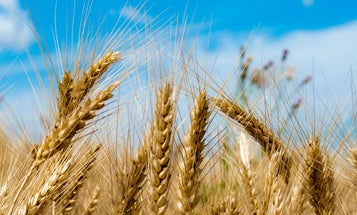 Back to the Wheat of the Future