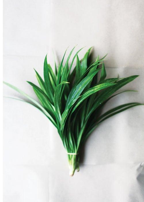feature-blades-of-glory-pandan-grass-500x700-i166