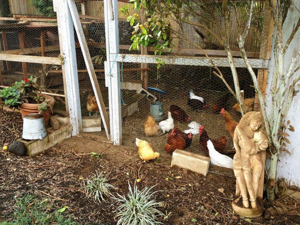Amy Ferguson Garden Chicken