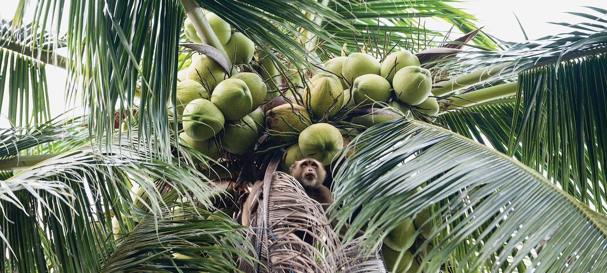 monkey farming coconuts