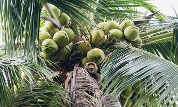 On This Thai Island, Coconut Goes Into Everything