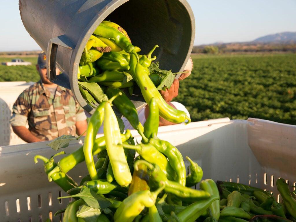 Hatch chile crop