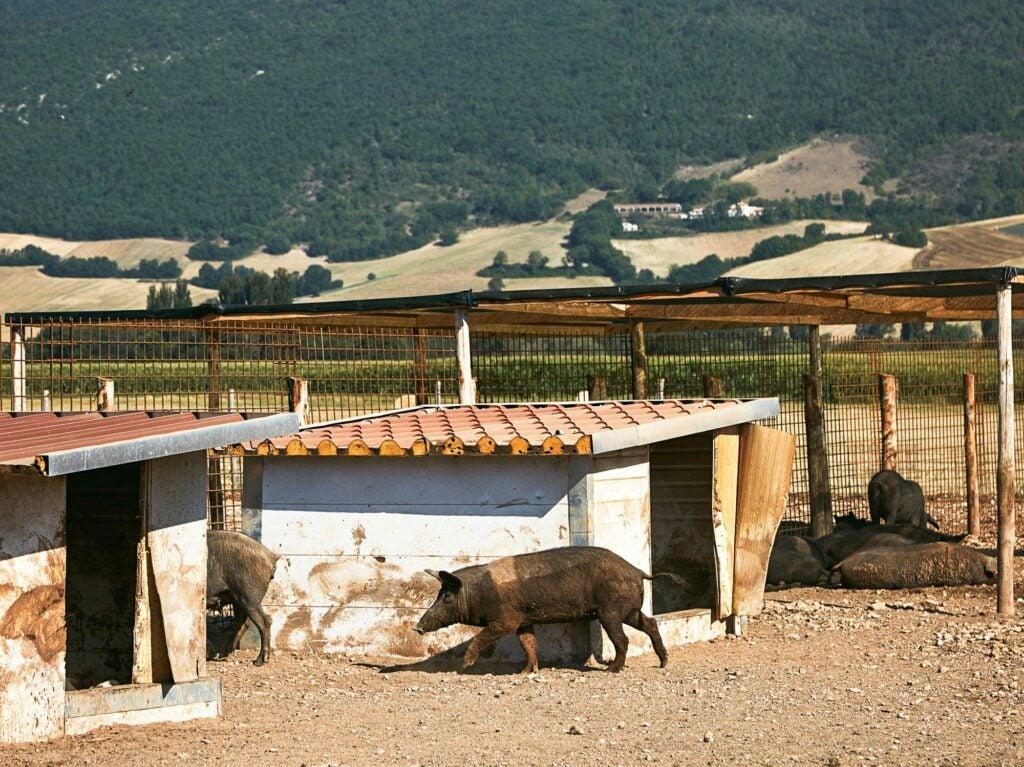 castelluccio pigs