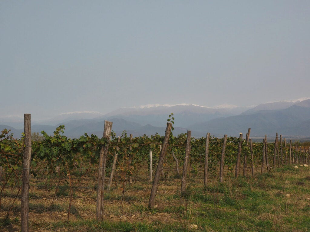 A vineyard with the Caucasus in the background