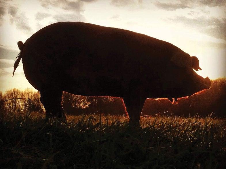 Is This America's Tastiest Pig?