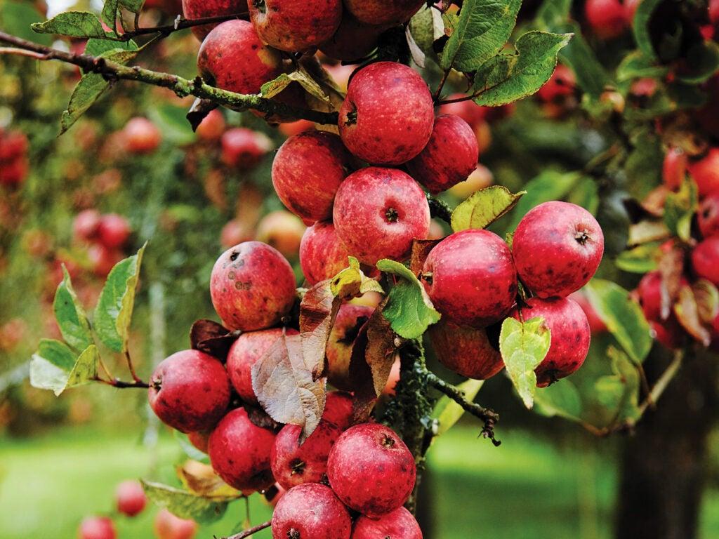 Eric Bordelet's apple orchard