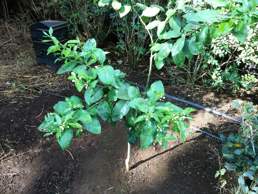 Amy Ferguson Garden Citrus