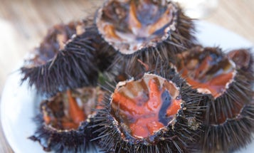 The Hunt for Mediterranean Sea Urchin is On