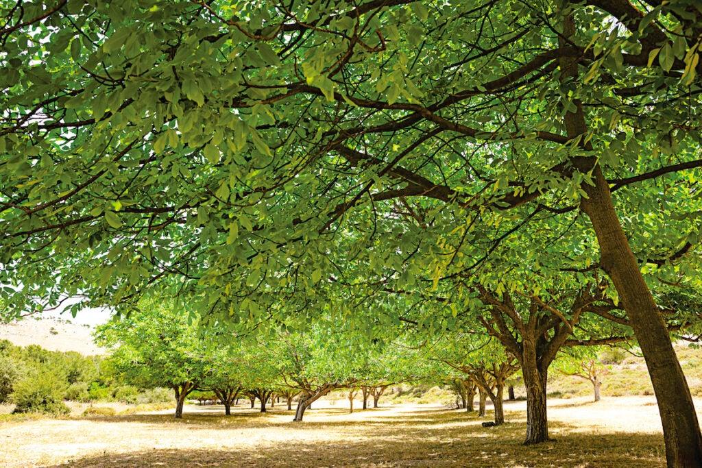 Pistachio trees near the village of Gush Halav