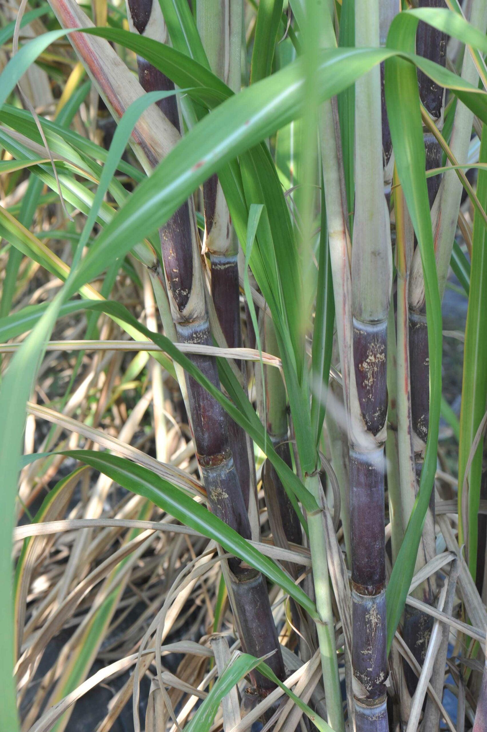 purple ribbon sugarcane