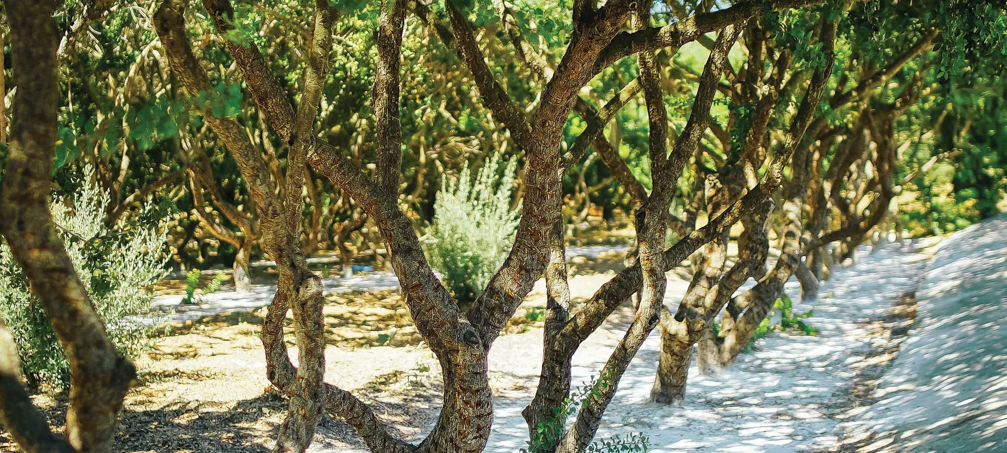 On the Greek Island of Chios, One Tree Rules Them All