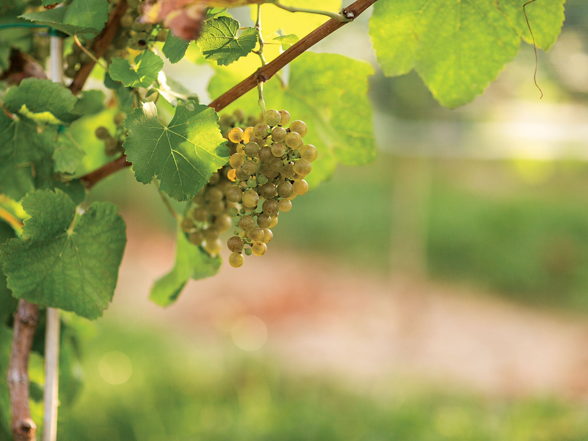 The Obscure French Grape Making Amazing American Wine