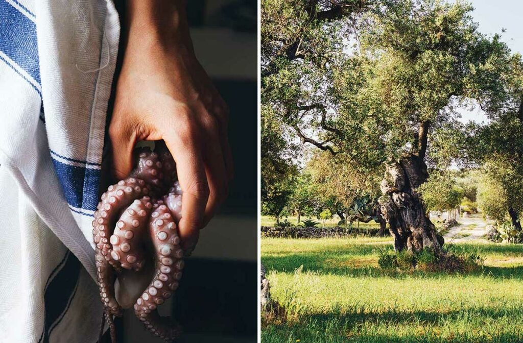 baby octopus and olive trees