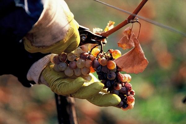 Austria's (Surprising) Sweet Wines