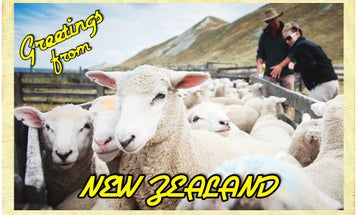 Postcard: Drafting Sheep in New Zealand