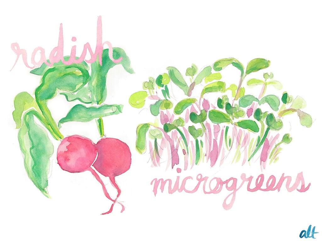 radishes microgreens