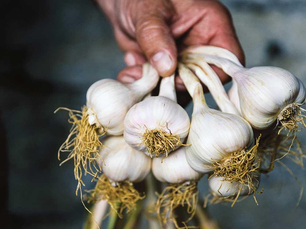 Vessalico garlic