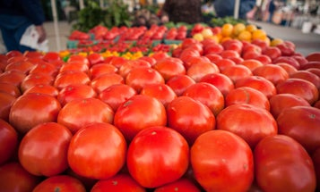 The Tomato in Winter