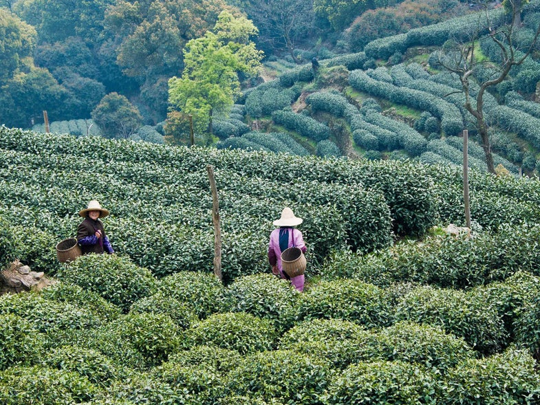 Postcard: A Rare Tea Harvest