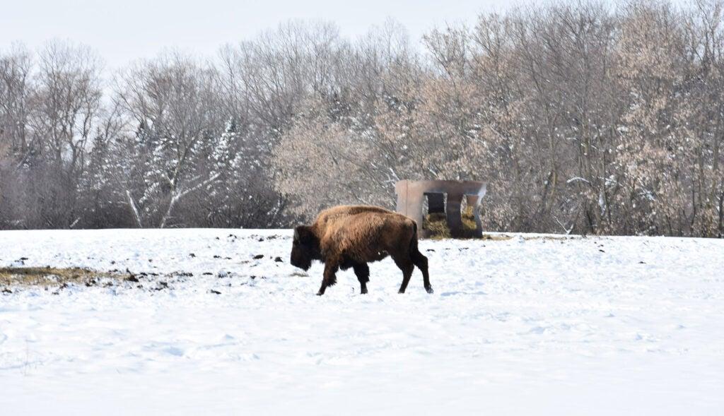 bison battle creek kummrow farms