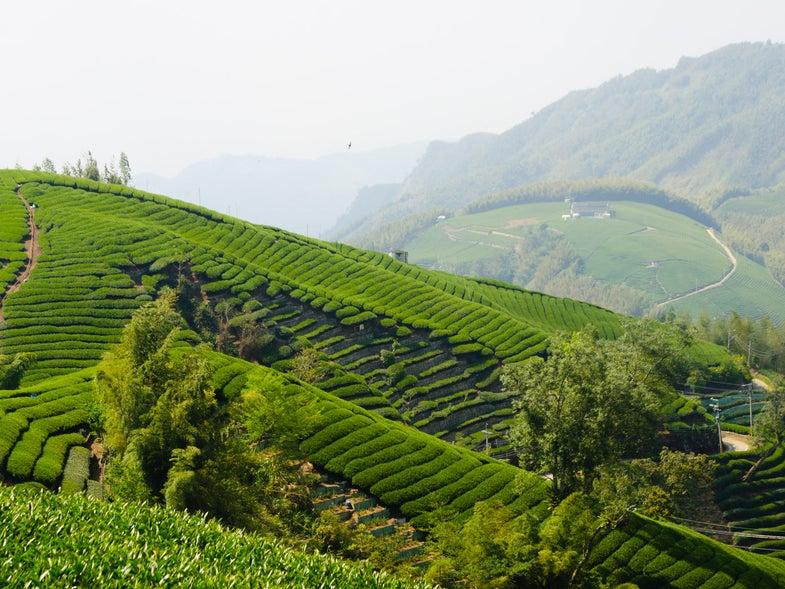 Tea Fields Taiwan