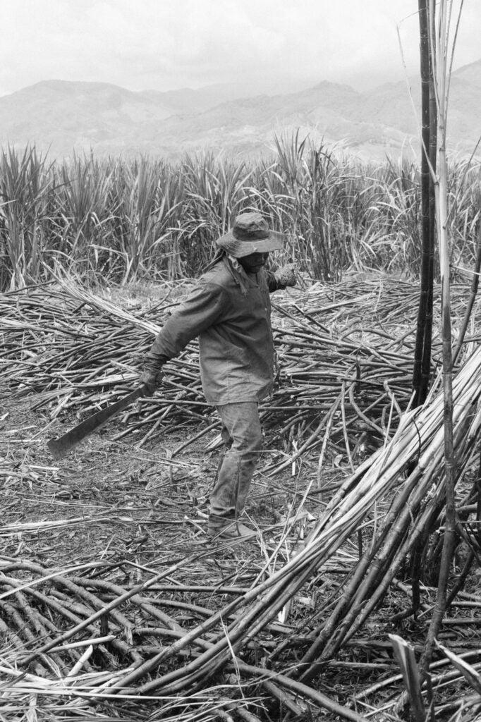 Sugar cane harvesting Colombia