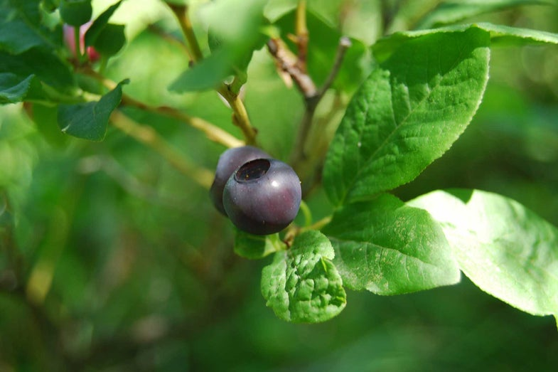 These Beloved Wild Berries Are in Danger From Habitat Destruction—But They Refuse to Be Tamed