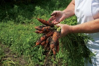 Katalin Simon harvesting carrots at Count Kalnoky's estate in Miklosvar