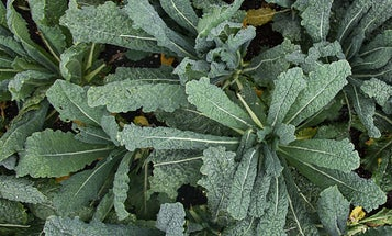 Building a Garden: Getting the Most from Your Kale
