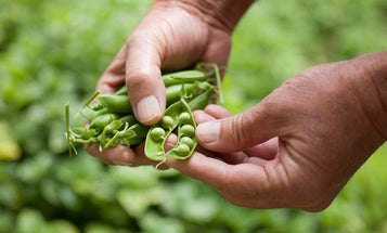 Building a Garden: All About Peas