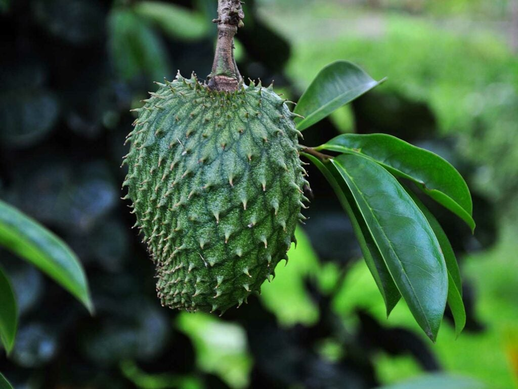 """Jackfruit"