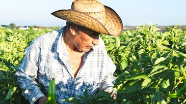 Man farming for green chiles