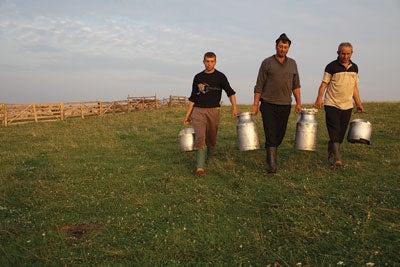 Shepherds return from milking their herd, outside of Viscri