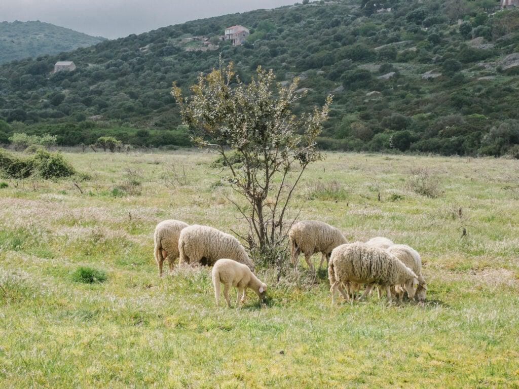 Sheep farm on Vis, Croatia