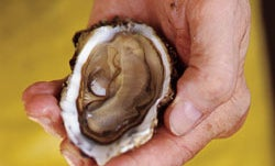 Oyster Obsession