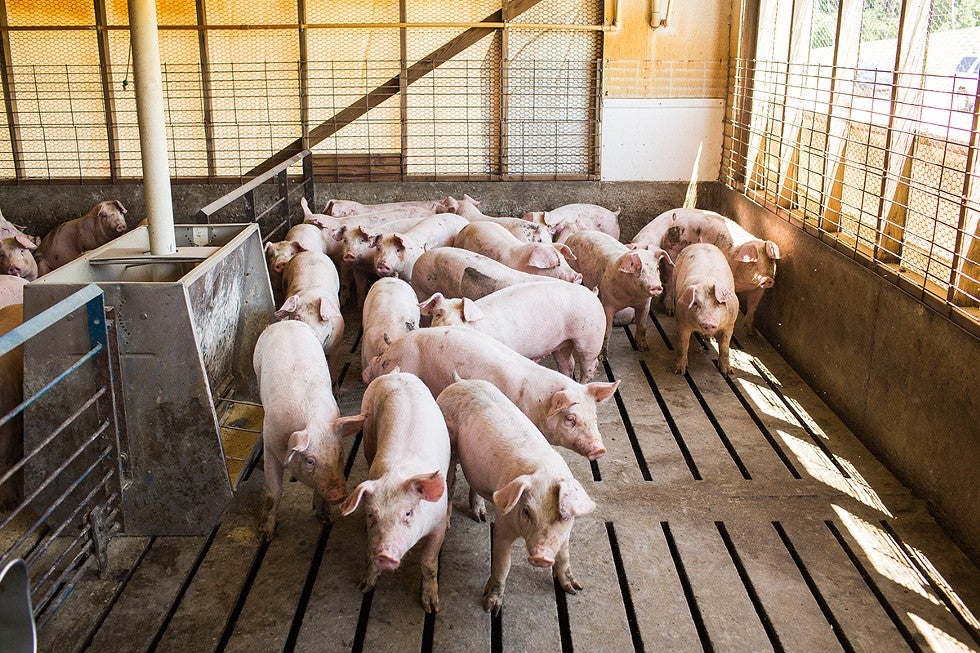 An In-Depth Investigation Into the Hog Industry's Smelliest Practices