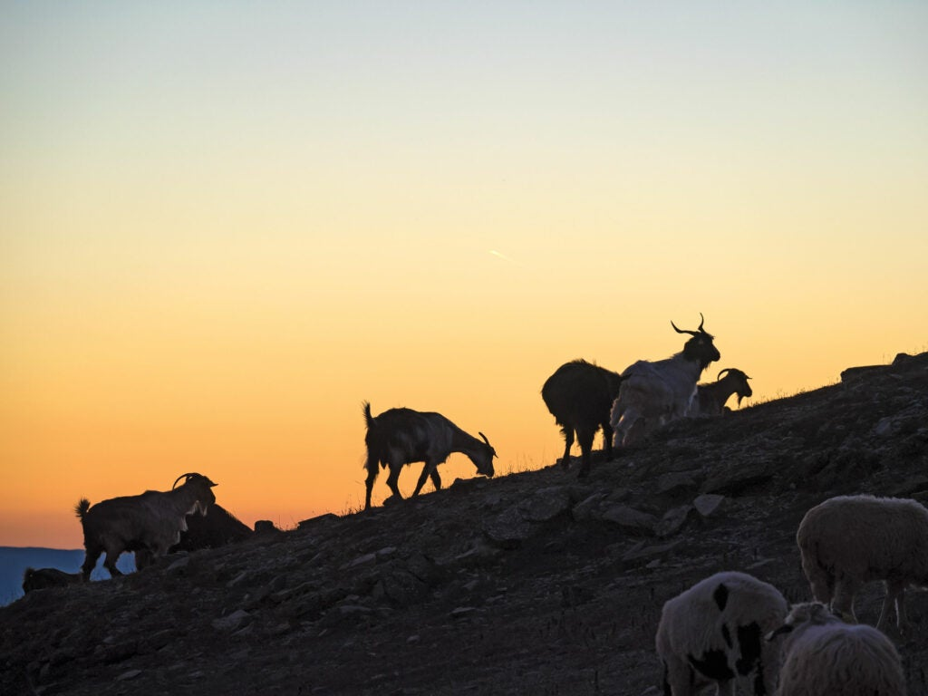 Turkish Goats