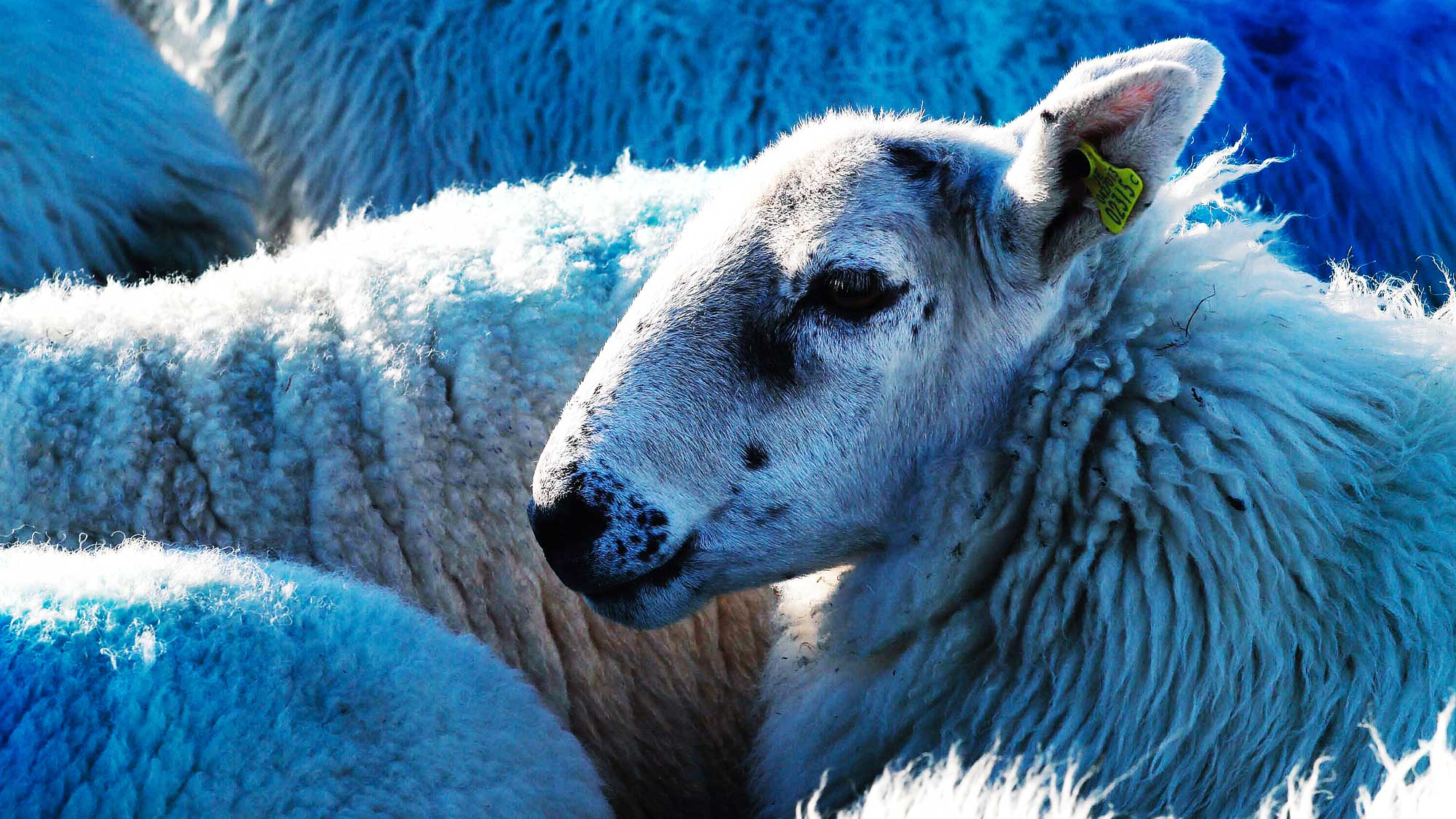 The World's Best Lamb Comes from Dingle, Ireland