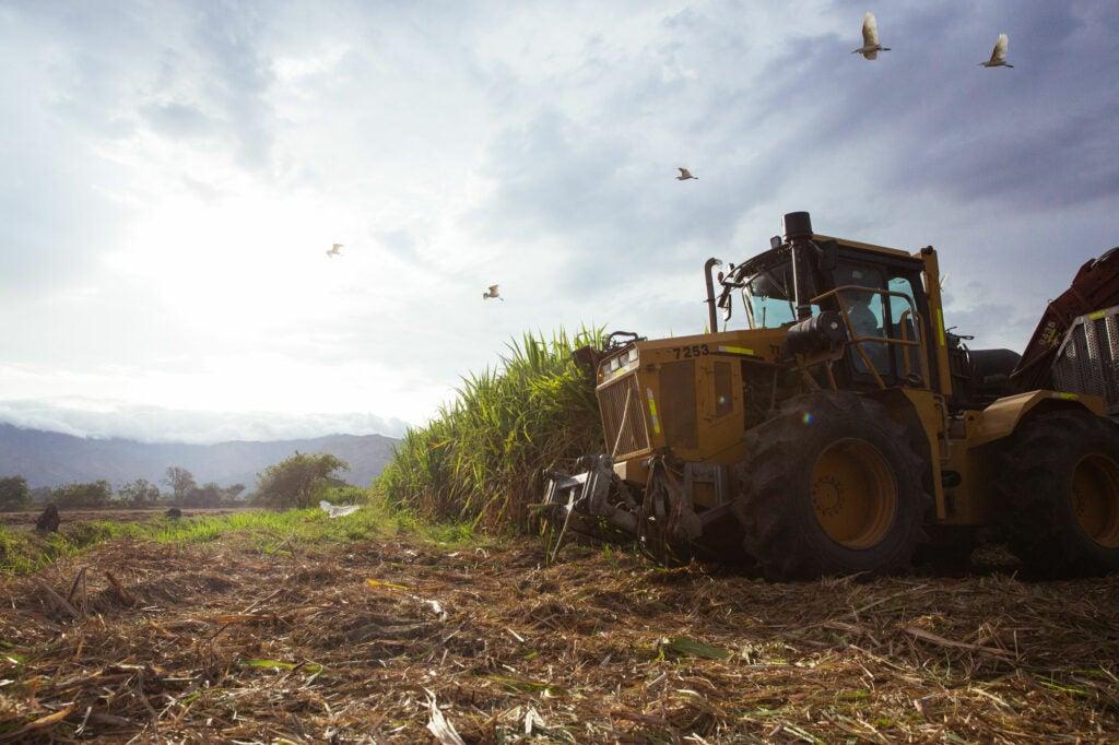 Sugar Cane Valle de Cauca Colombia