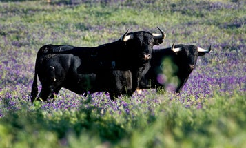 Are Fighting Bulls Spain's Next Great Delicacy?