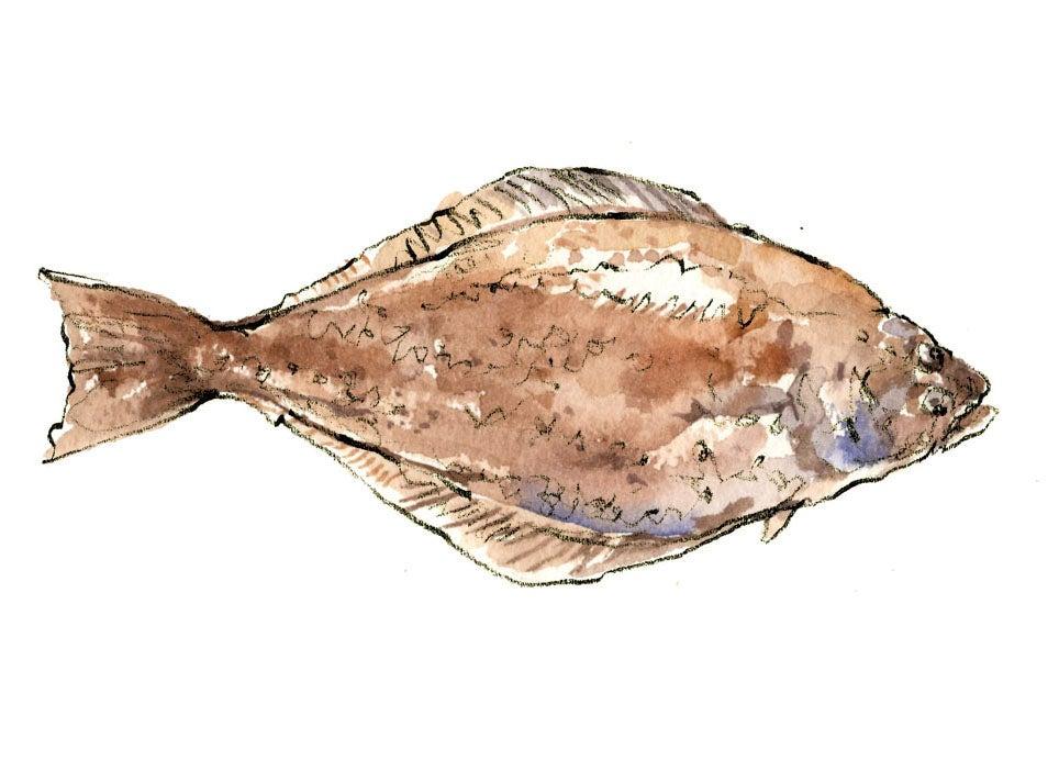 """""""halibut"""